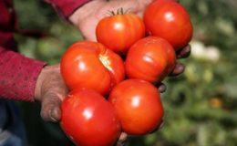 Türkiye'nin domates ihracatı arttı